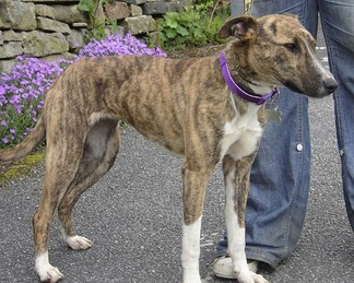 Brindle Whippet Mix